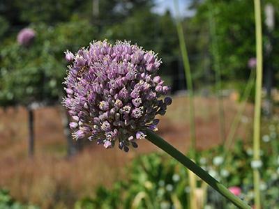 farm-onion-seeds1
