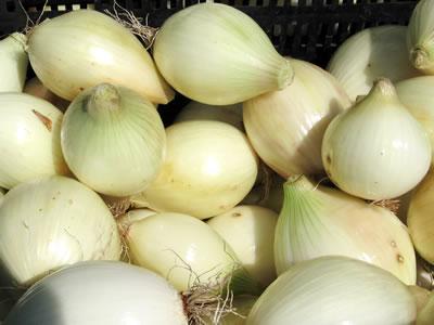 farm onions