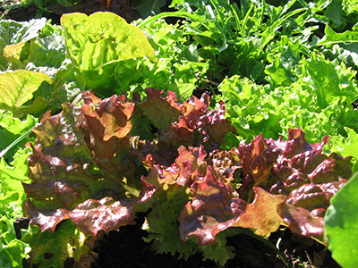 farm-salad-greens2