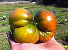 A large heirloom tomato