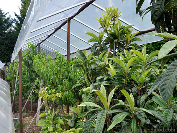 A free-standing plastic overhang protects these dry-weather subtropical fruit trees from rain. Protect your Garden from Heat, Cold, Wind and Rain.