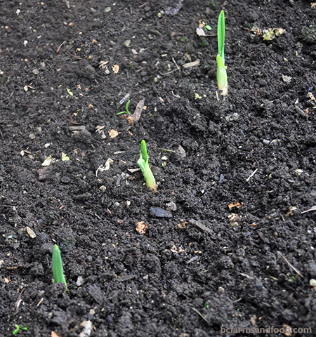 New garlic shoots push their way out of the soil - Three Simple Ways to Test Your Soil