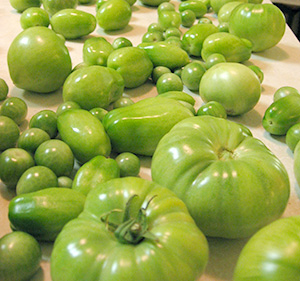 Green tomatoes brought inside to ripen.