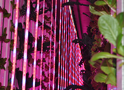 Red and blue LED grow lights illuminate vertical towers of vegetable plants inside a shipping container farm.
