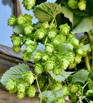 Hops flowers. Oh No, Not the Beer: Barley, Hops, and the Future of Beer.