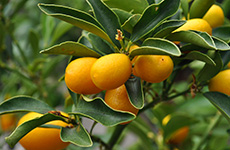 kumquats230bcfarmsandfood
