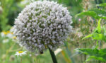The seed head of a leek. Growing Your Own Gardening Seeds.