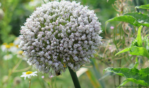 The seed head of a leek. Growing Your Own Garden Seeds.