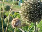 Leek seed heads