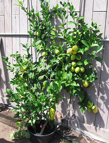 A dwarf lemon tree grows outdoors against a south-facing wall.
