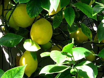 Fruit Trees and More - BC Farms & Food