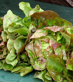 Fresh lettuce at Vancouver Island farmers markets.