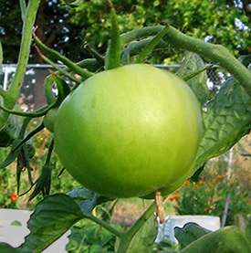A green Long Keeper tomato on the vine