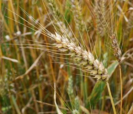 A wheat plant in the field.