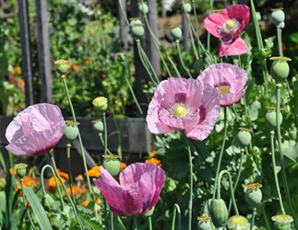 poppy plants