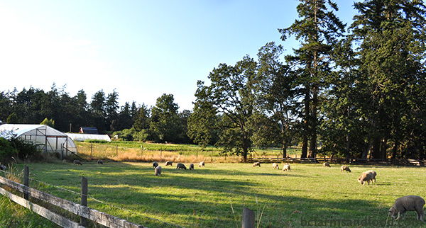 Metchosin Sooke Farms A-Z Directory. sheep grazing