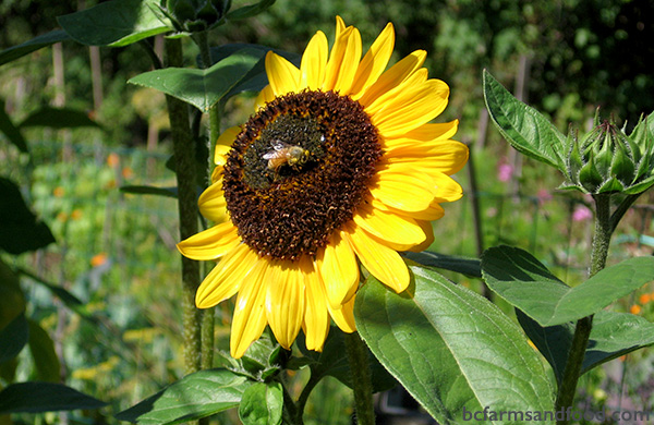 Metchosin Sooke Farms A-Z Directory. sunflower