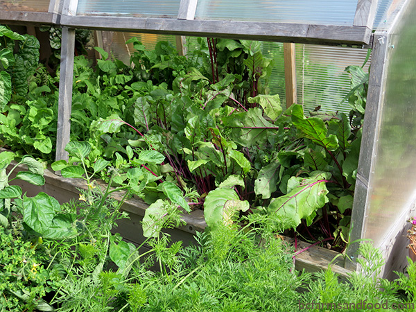 Vegetables thrive in a cold frame, sheltered from wind and rain. Microclimates like this can shelter your Garden from Heat, Cold, Wind and Rain.