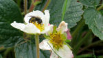 A native bee pollinates the flowers of a strawberry plant. European Union Bans Neonicotinoid Pesticides.