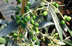 olives230bcfarmsandfood