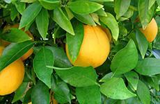 oranges230bcfarmsandfood