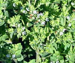 How Oregano Can Help Fight Global Warming