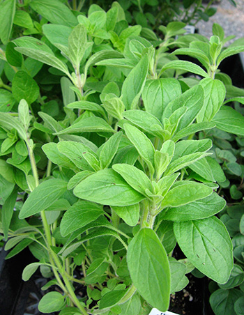 oregano, a culinary herb that can help reduce methane emissions