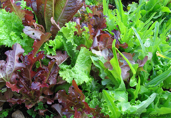 Parksville Qualicum Farms A-Z Directory. lettuce