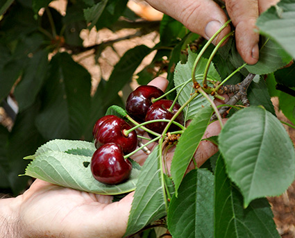 Who are the 21st century farmers? Hands picking cherries from the tree.