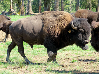 A plains bison at home on the bison ranch