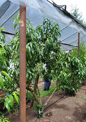 Tall supports with a plastic-covered roof create a microclimate that protects drawf fruit trees.