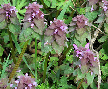 Purple Deadnettle is a weed that can indicate soil conditions.
