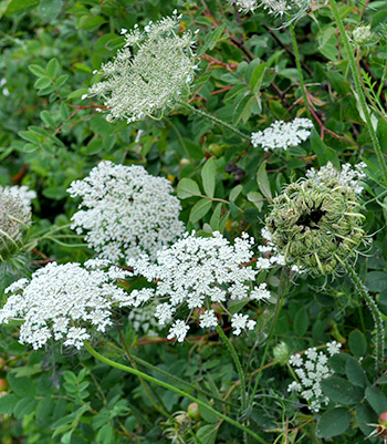 Queen Anne's Lace is a weed that can indicate the condition of the soil.