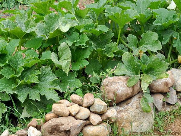 A raised bed with rock walls provides a warm microclimate for zucchini plants. Protect your Garden from Heat, Cold, Wind and Rain.