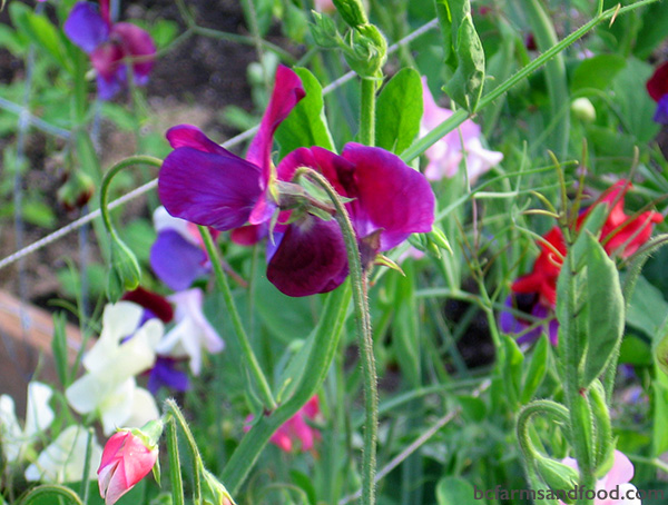 Salt Spring Island Farms A-Z Directory. Purple and pink sweet peas