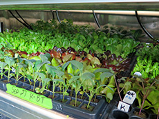 Seedling trays inside a shipping container farm.