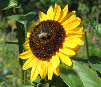 bee on sunflower in a bee garden