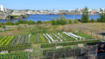 Bird's eye view of Topsoil urban grow bag farm in Victoria, BC. A movable urban farm.