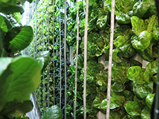 Vertical towers of lettuce plants grow inside a shipping container farm.