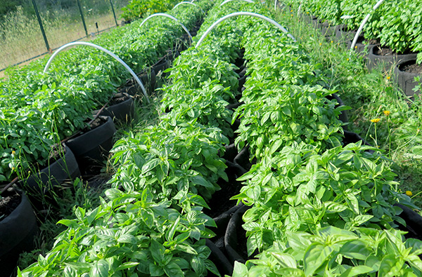 Victoria Farms A-Z Directory. Rows of basil crops.
