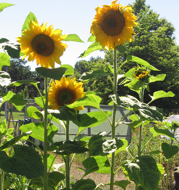 Victoria Farms A-Z Directory. Sunflowers.