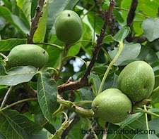 English walnuts on the tree