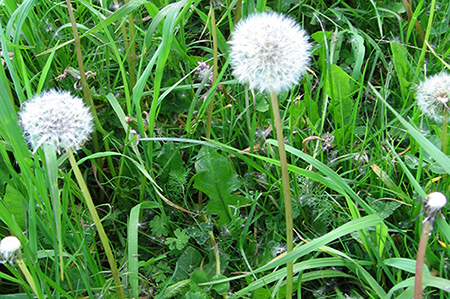 Dandelions and other weeds