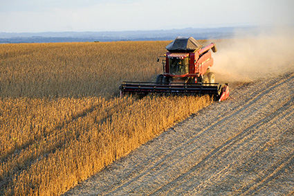 A combine harvests wheat in a large field. Bringing Back Ancient Grains and Seeds.