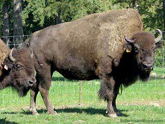A wood bison at home on the bison ranch.