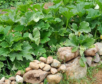 Thriving zucchini plants grow on raised beds surrounded by rocks. The rocks provide a heat radiating microclimate.