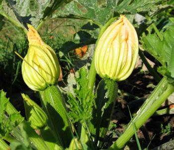 zucchini flowers in a bee garden